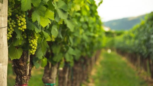 The Song of the Vineyard